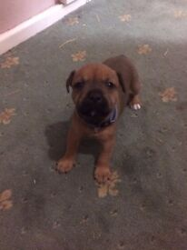 One female puppy left!
