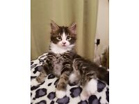 Cross Mainecoon kittens for sale