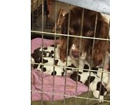 Springer Spaniel pedigree puppies for sale
