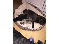Kc reg pug puppies for sale