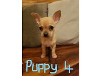 CHIHUAHUA BABY GIRL PUPPIES Ready NOW