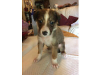 Collie Cross puppies, brown and white, black and white