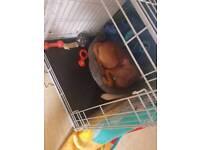 13 week puppy forsale