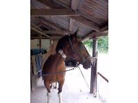 Horse sharer Edinburgh - Lovely coloured boy ( 15.3) needs kind sharer.