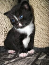 black and white kittens ready in august
