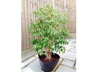 Large Indoor House Plant Ficus Benjamina healthy happy tree 4.9 ft / 150cms tall
