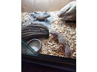 Leopard geckos plus setup