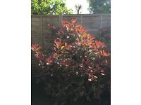 "Photinia ""Red Robin"" shrub"