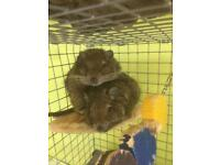 2 x male degus with everything looking for loving caring home