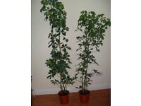 A set of 2 Schefflera Umbrella plants++grown to nearly 2m++very healthy++£40 ONO++can split