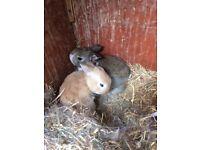 Rabbits (3 ) baby's