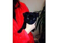 Pug dog for sale kc registared