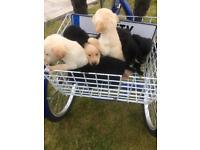 Labour pups for sale