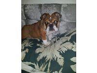 Beautiful English bulldog male pup