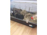 Three male guinea pigs and large cage for sale