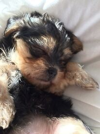 shorkie puppie for sale