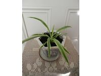 Young Spide plant Chlorophytum Small pendent House plant Hexagonal Pot