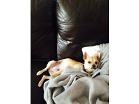 7 month gorgeous male chihuahua