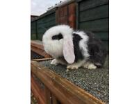 Stunning baby mini lops for sale