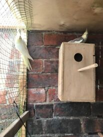 Breeding pair of cockatiels lutino and grey proven pair