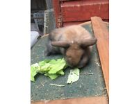 Baby mini lops ready to reserve