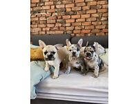 Beautiful Merle French Bulldog Puppies