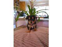 3/4 Chihuahua 1/4 mini Pinscher