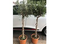 Stunning double twisted olive trees, 140 cms tall, £75 each, stowmarket
