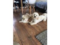 Bichon x Shih tzu (Teddy Bear Pups)