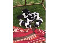 Shichon/Zuchon Puppies 6 Girls, 2 Boys
