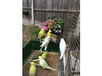 Beautiful baby Budgies, 2 new unused cage for extra cost