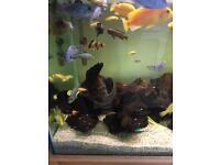 Cichlids various