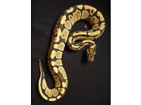 Royal Python, Healthy Eaters