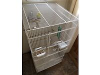 Budgies with a large cafe for sale £40
