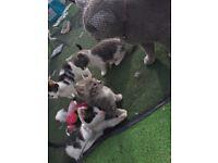 Lovely mixed bsh kittens