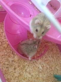 male hamsters and toys
