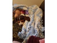 **REHOMED**beautiful beagle girl puppy