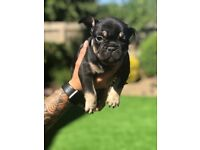 Gorgeous French Bulldog Puppies for sale (West Sussex)