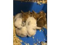 Baby mini lop cross Dutch rabbits