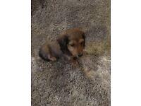 Miniature longhair dachshund boy puppy