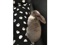 Cute Mini Lops for Sale. ASAP.
