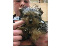 Beautiful miniature Yorkshire Terrier pups for sale