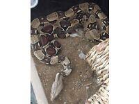 Ball python snake free to good loving home