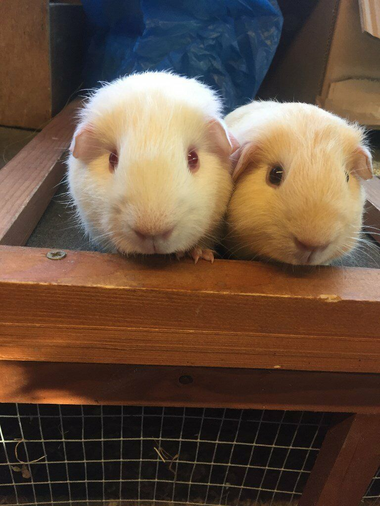 Gorgeous pair of baby guinea pig boars (males) - £25 for the pair