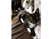 ONLY 1 MALE LEFT!! 9 week old black and white kittens 2 boys