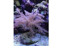 Live pink coral