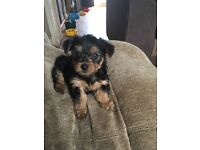 YORKSHIRE TERRIER PUPPIES (TOY)