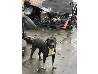 Bulldog bullie urgent rehoming