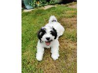 1 Boy Left! Shih Tzu cross Bichon Frise puppy for sale (Shihchon)