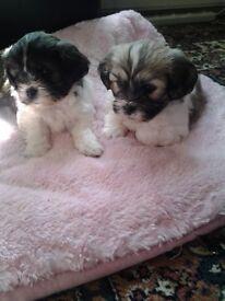 Sheshons bichon x shih tzu puppies for sale 395